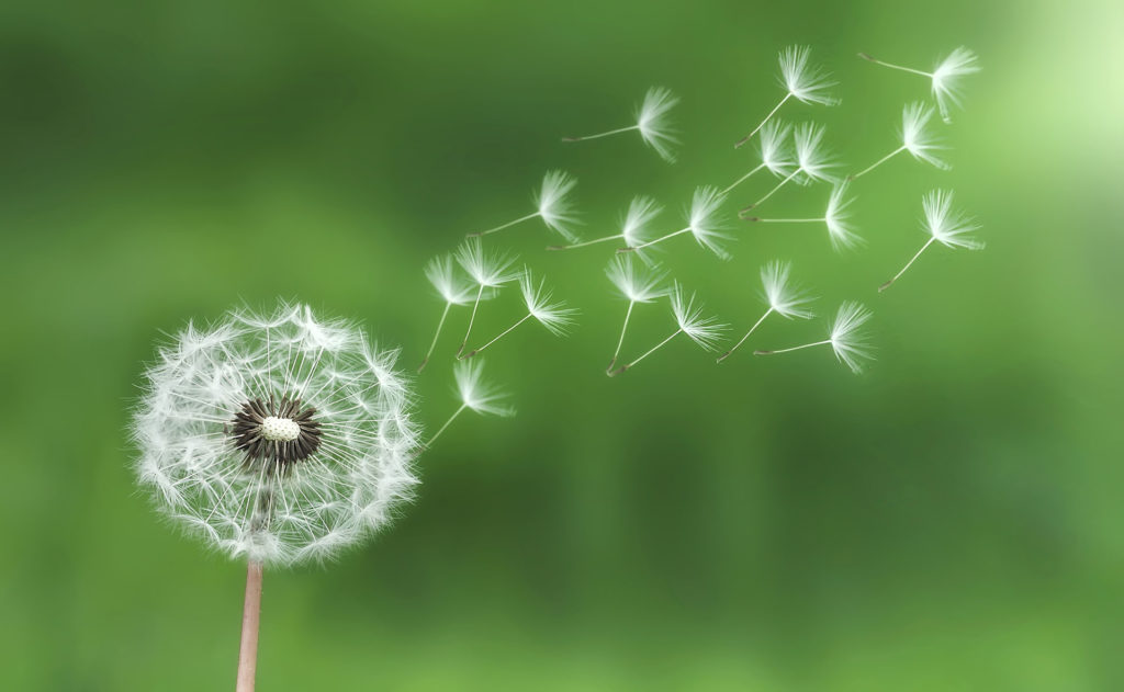 Image result for dandelion military flower
